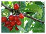 Cherries-New-Caption